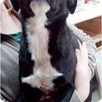 Adopt A Pet :: Gucci - Gilbert, AZ