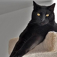 Domestic Shorthair Cat for adoption in Port Angeles, Washington - Thistle