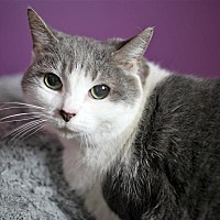 Domestic Shorthair Cat for adoption in Fairfax Station, Virginia - Misty 1