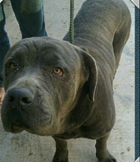 Mastiff Dog for adoption in New Middletown, Ohio - Hercules