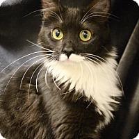 Adopt A Pet :: Siri - Foothill Ranch, CA