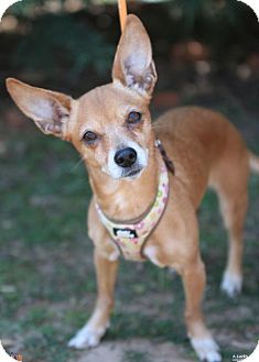 Chihuahua Mix Dog for adoption in Atlanta, Georgia - ChiChi