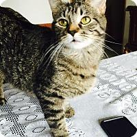 Adopt A Pet :: Kit Kat - Oak Lawn, IL