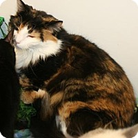 Domestic Shorthair Cat for adoption in Grand Junction, Colorado - Sasha