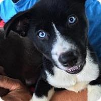 Adopt A Pet :: Balue - Marlton, NJ