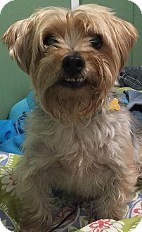 Yorkie, Yorkshire Terrier/Shih Tzu Mix Dog for adoption in Los Angeles, California - Mac