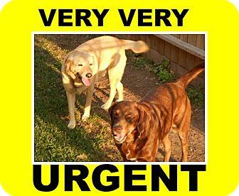 Labrador Retriever Dog for adoption in Austin, Texas - Beamer