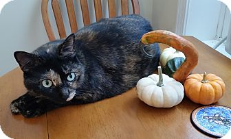 Domestic Shorthair Cat for adoption in St. Louis, Missouri - Gretl
