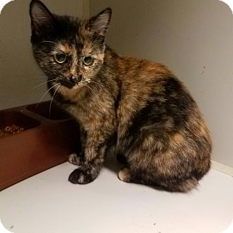 Domestic Shorthair Cat for adoption in Indianola, Iowa - O-9