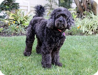 Cockapoo/Portuguese Water Dog Mix Dog for adoption in Newport Beach, California - LEWIS