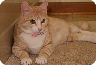 Domestic Shorthair Cat for adoption in Bedford, Virginia - Dreamsicle