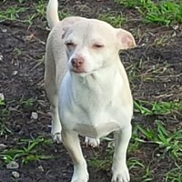 Chihuahua/Dachshund Mix Dog for adoption in Pompano Beach, Florida - Ringo