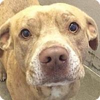 Adopt A Pet :: Abe - Springdale, AR