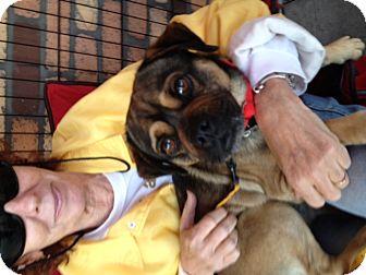 Pug/Beagle Mix Puppy for adoption in North Hollywood, California - Bojangles