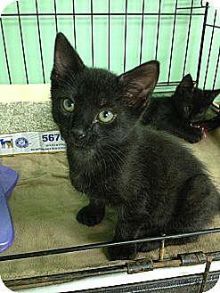 American Shorthair Kitten for adoption in Jackson, Mississippi - Clark
