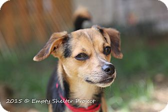 Chihuahua/Whippet Mix Dog for adoption in Manassas, Virginia - *adoption pending* Fizban