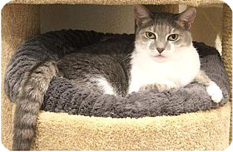 Domestic Shorthair Cat for adoption in Boca Raton, Florida - Fiona