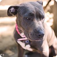 Adopt A Pet :: Violet - La Habra, CA