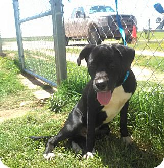 Bullmastiff/Labrador Retriever Mix Dog for adoption in Denver City, Texas - Alan