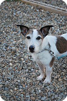 Jack Russell Terrier Mix Dog for adoption in Berea, Ohio - Einstein