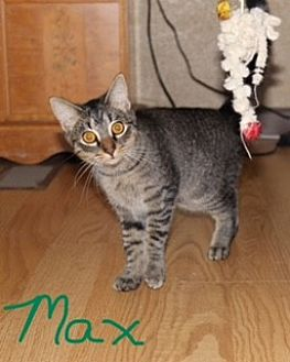 Domestic Shorthair Cat for adoption in Jesup, Georgia - Max