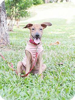 Beagle/Shar Pei Mix Puppy for adoption in San Mateo, California - Bersha