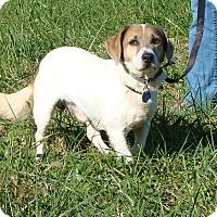 Adopt A Pet :: Patches - Cameron, MO