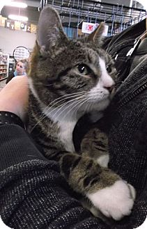 Domestic Shorthair Cat for adoption in Columbus, Ohio - Miss Kitty