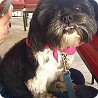 Shih Tzu Dog for adoption in Fort Lauderdale, Florida - Cookie Valentina