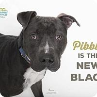 Pit Bull Terrier Dog for adoption in Camarillo, California - ZEUS