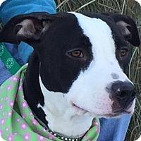 Adopt A Pet :: Cookie - Evansville, IN