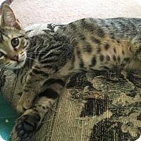 Adopt A Pet :: Cedar - Monroe, GA