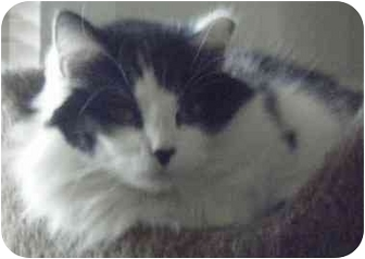 Domestic Mediumhair Cat for adoption in Kensington, Maryland - Katie