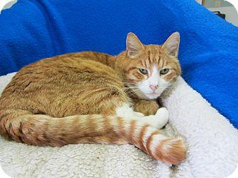 Domestic Shorthair Cat for adoption in Kingston, Washington - Carmine