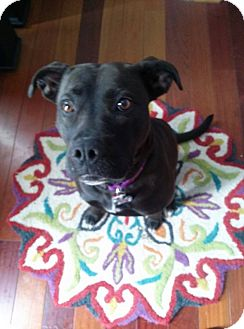Labrador Retriever/American Pit Bull Terrier Mix Dog for adoption in Westminster, Maryland - Molly