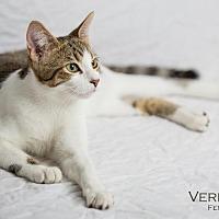 Domestic Shorthair Cat for adoption in St. Louis, Missouri - Verdana (Courtesy Post)