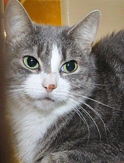 Domestic Shorthair Cat for adoption in Stanhope, New Jersey - Isabel
