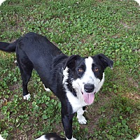 Border Collie Mix Dog for adoption in Winchester, Kentucky - Bo Bo