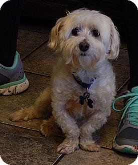 Maltese Dog for adoption in Williamsport, Maryland - Oscar(10 lb) Sweetest Ever!