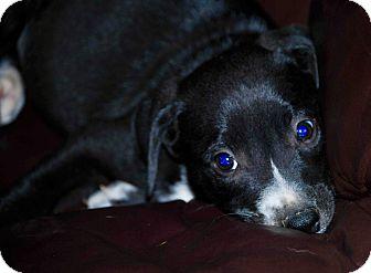 Labrador Retriever Mix Puppy for adoption in Portsmouth, New Hampshire - Ringo-ADOPTION PENDING