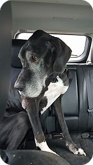 Great Dane Mix Dog for adoption in Killeen, Texas - June