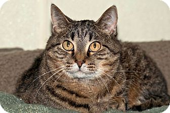 Domestic Shorthair Cat for adoption in Cashiers, North Carolina - Tiny