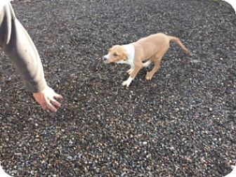 Beagle/German Shepherd Dog Mix Puppy for adoption in Elk Grove, California - BIZMA