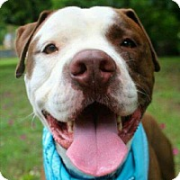Pit Bull Terrier Mix Dog for adoption in Austin, Texas - Lexx