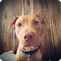Adopt A Pet :: Desiree - Kansas City, MO