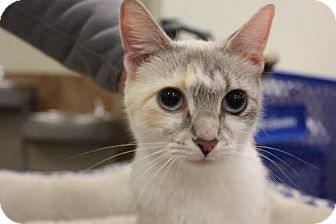 Siamese Cat for adoption in Troy, Illinois - Marbles nka Misty DECLAWED