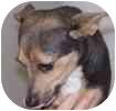 Chihuahua Mix Dog for adoption in Hamilton, Ontario - Sugar