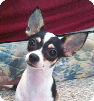 Rat Terrier/Chihuahua Mix Dog for adoption in Studio City, California - Lillie (4 lbs)
