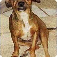 Adopt A Pet :: RogerDodger - Gilbert, AZ