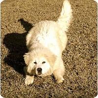 Adopt A Pet :: Odie - Piedmont, SC